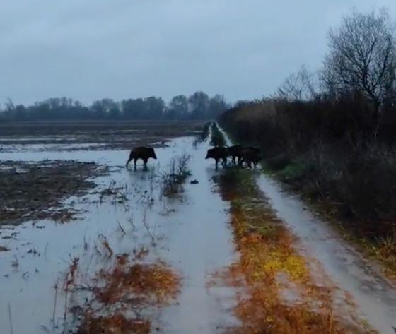 Σπάνιο θέαμα: Αγέλη από αγριογούρουνα στον Έβρο [ΒΙΝΤΕΟ]