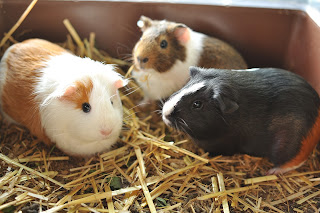 Three different coloured guinea pigs in an indoor cage with straw bedding