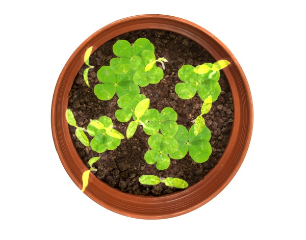 Growing shamrocks is the perfect St. Patrick's Day craft for kids.  My girls were excited to check on their lucky clover pots each day & learned a lot about plants and how they thrive. #howtogrowshamrocks #growshamrocksforkids #growshamrocks #shamrockcraft #shamrock #stpatricksdaycraftsforkids #stpatricksday #kidsshamrockcrafts #kidsstpatricksdaycrafts