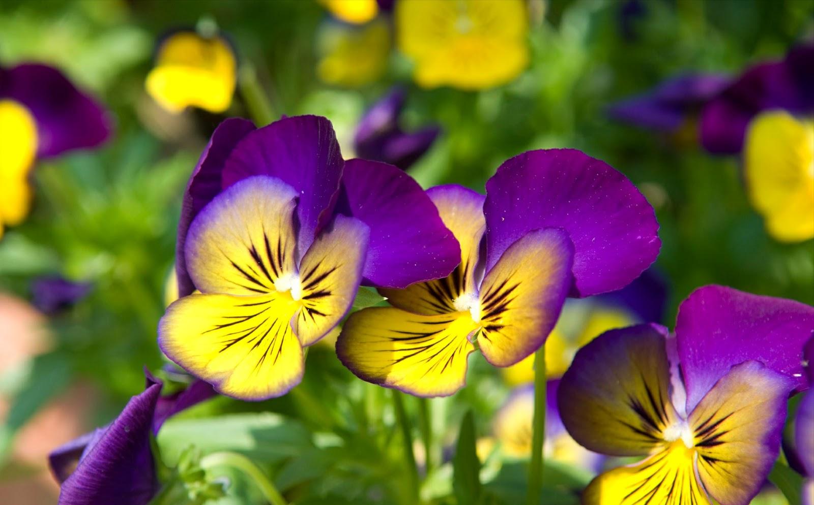 Gambar Bunga Indah dan Cantik | Kumpulan Gambar