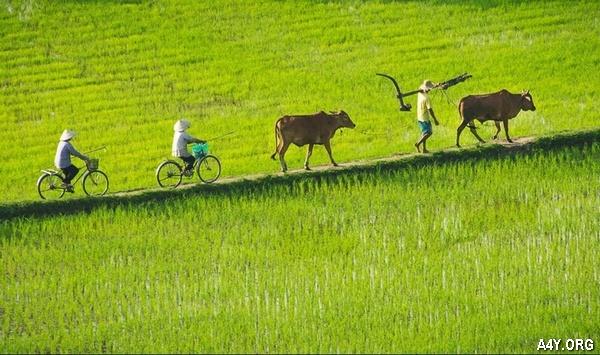[HAY] Thơ viết về Làng Quê Nông Thôn với hình ảnh cánh đồng lúa, con trâu,..