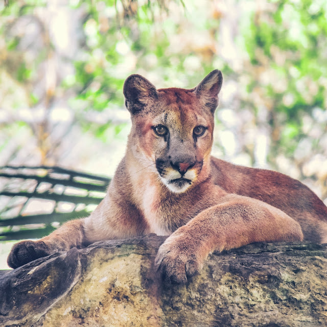 Florida Panther at Flamingo Gardens