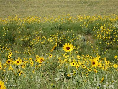 Helianthus petiolaris, prairie sunflower