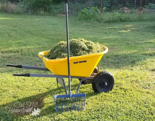 Grass clippings in wheelbarrow