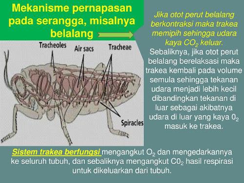 serangga bernafas dengan trakea