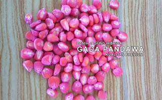 Benih Jagung Hibrida GADA PANDAWA Kualitas Premium