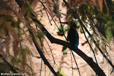 Blauet (Alcedo atthis)