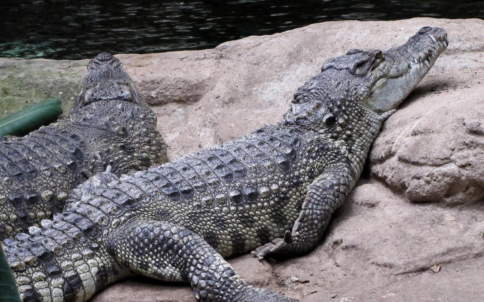 Alligator Computer Wallpapers, Desktop Backgrounds, animal wallpapers