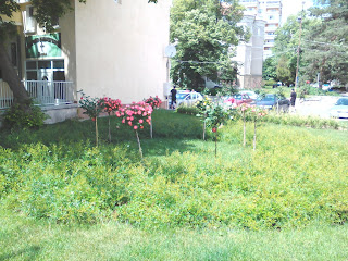 Yambol, Miniature, Rose Bushes,Yambol City Centre,
