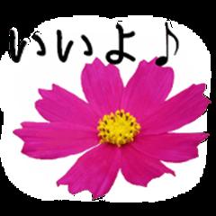 A floral message! Cosmos