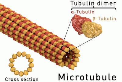 Mikrotubulus: Pengertian, Gambar, Struktur, Proses dan Fungsi