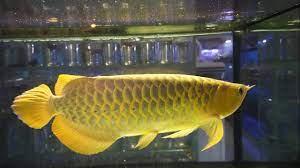 Arwana crossback golden