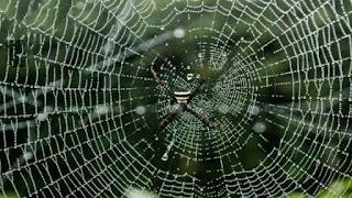 मकड़ी जाला कैसे बनाती है और इस हेतु धागा कहां से प्राप्त करती है?