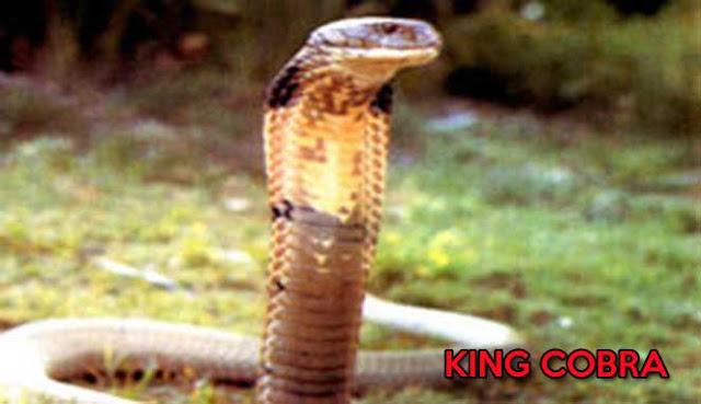 10 FAKTA MENARIK TENTANG ULAR KING COBRA YANG MERESAHKAN MASYARAKAT