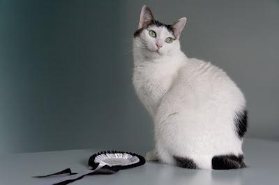 Perawatan Ras Kucing Japanese Bobtail