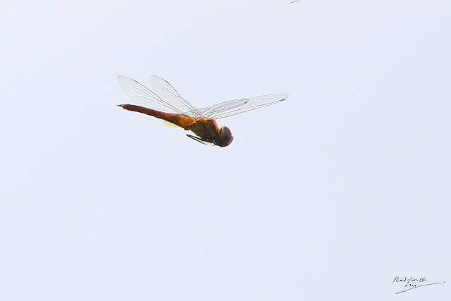 Yellow Dragonfly flying