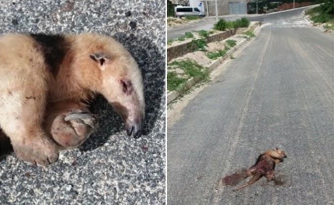 Ameaçado de extinção, tamanduá-mirim morre atropelado em Jacobina