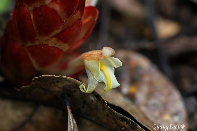 Zingiber thorelii