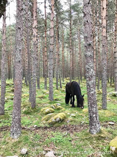 Black horse grazing in the forest in Hæreid in Eidfjord in Norway.