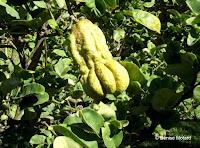 Buddha's hand citron, Foster Botanical Garden - Honolulu, HI