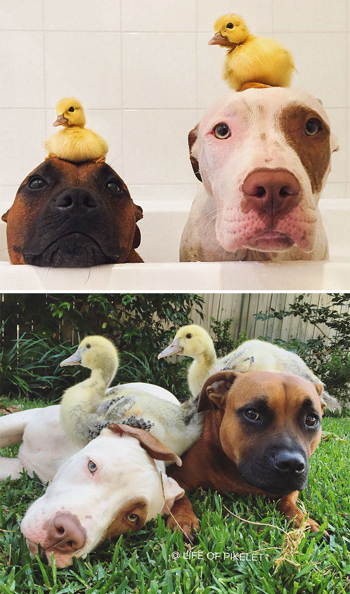 #7 Two Ducklings And Two Of Their Best Friends - 15 Before & After Pics Of Animals Growing Up Together