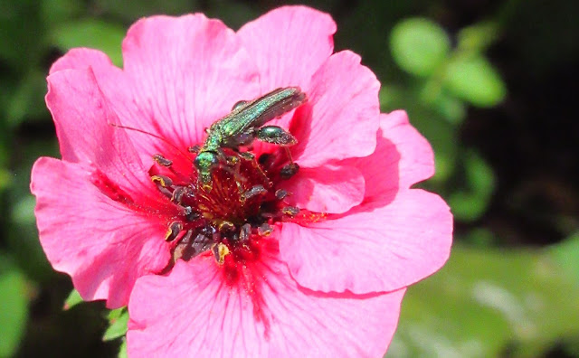 Oedemera nobilis covered with pollen