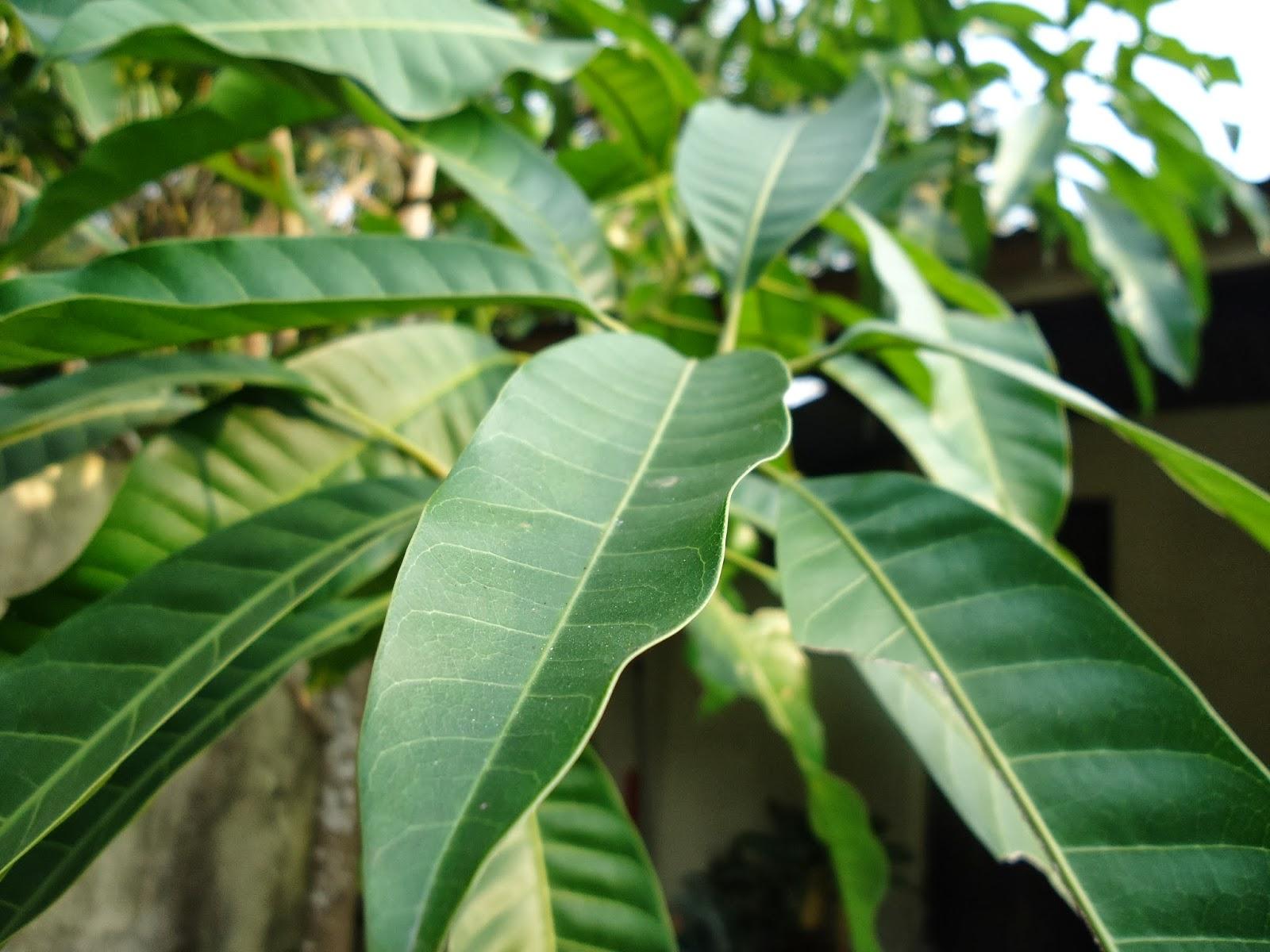 Tugas Morfologi Tumbuhan bangun daun circumscriptio