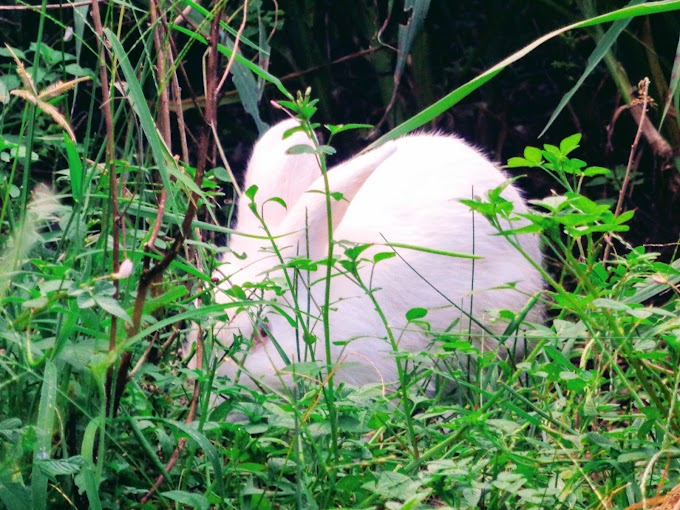 Kelinci putih diantara semak