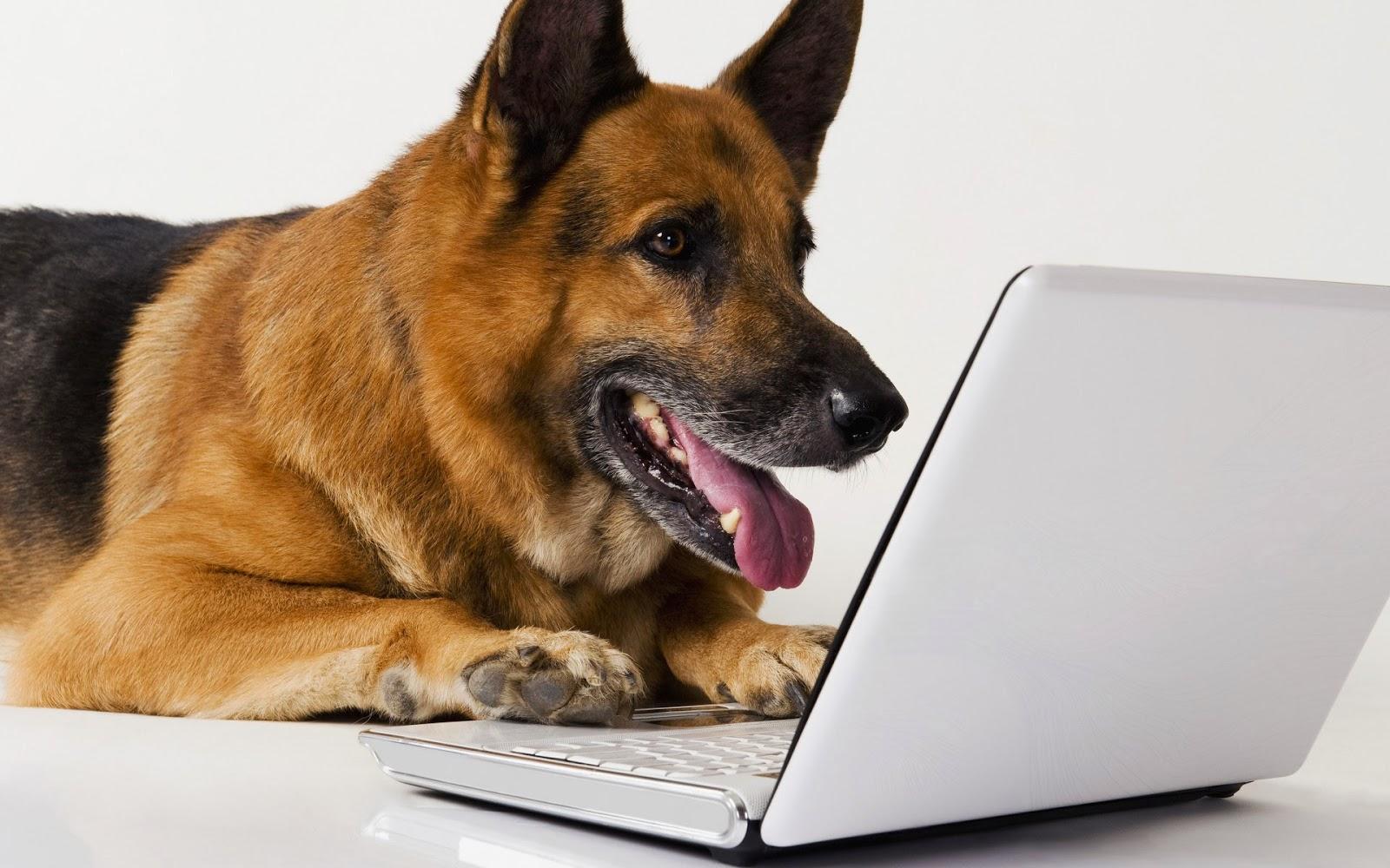 Herdershond achter de laptop