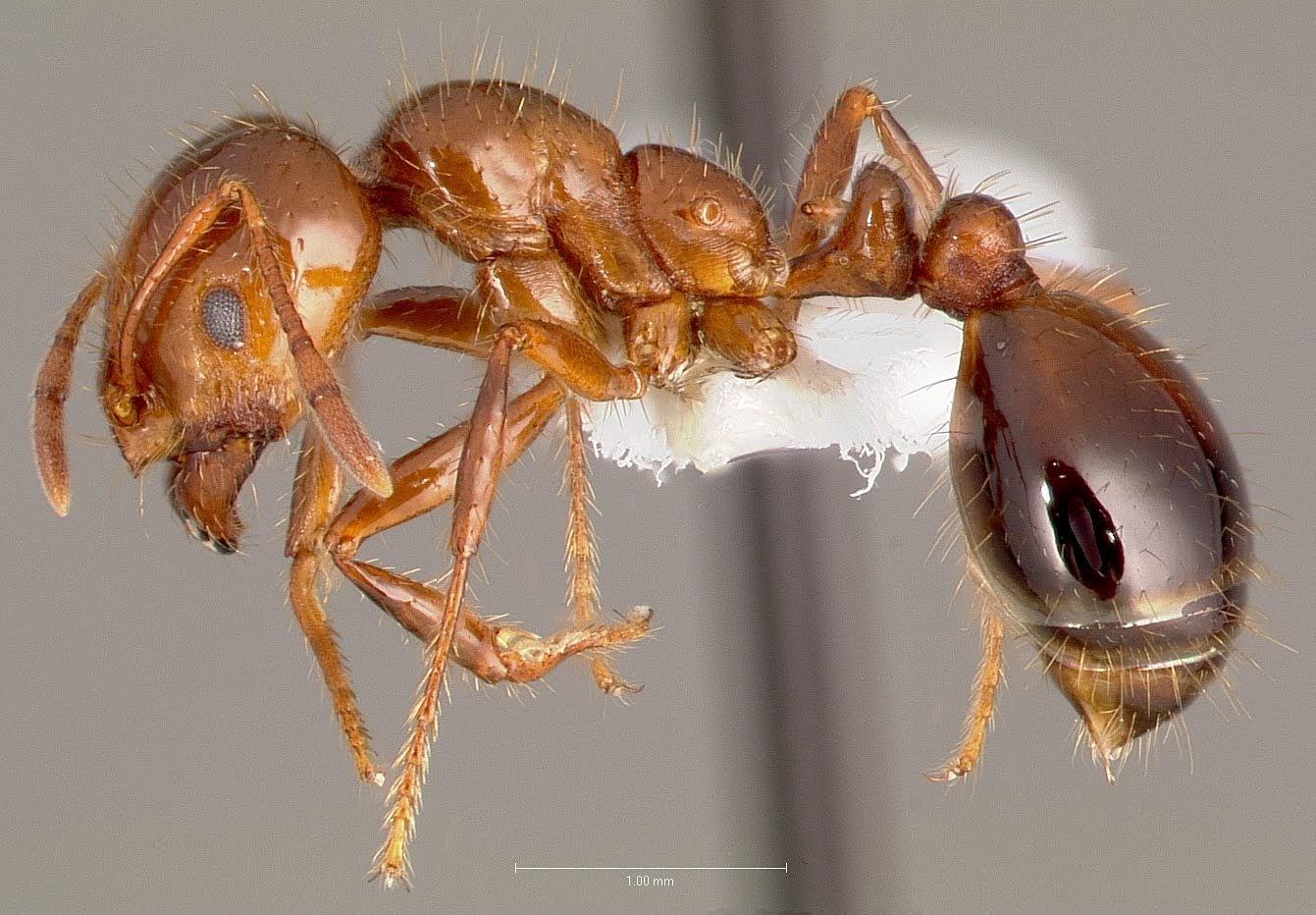 ヒアリの働きアリの標本