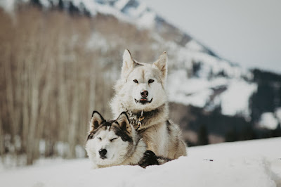 Two of the dogs use in the 2019 film The Great Alaskan Race sit in the snowy wildeness
