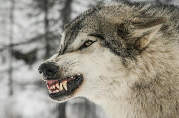 هل يهاجم الذئب الإنسان