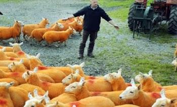Απίστευτο! Δείτε το κάνει βοσκός στα πρόβατα για να τα προστατέψει από τους κλέφτες!