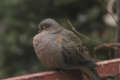 This is picture of a Mourning dove puffing up. I'm not sure of the bird's gender so I'll refer to the creature with the he pronoun. He is doing this activity while sitting on an orange metal railing which surrounds a garden. From the position he is in we can only see one eye and it almost closed, which allows us to notice his pale blue eyelids —  a characteristic of Mourning doves. We can also see his pink feet which are a characteristic of this bird type. Mourning doves have a story within volume one of my three volume book series. Info re these books is another post within this blog @ https://www.thelastleafgardener.com/2018/10/one-sheet-book-series-info.html