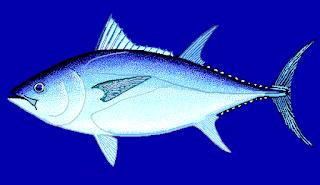 Tuna sirip biru selatan