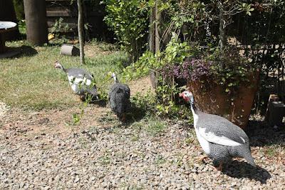 galinhas-dangola-na-sede-de-a-fazenda-11