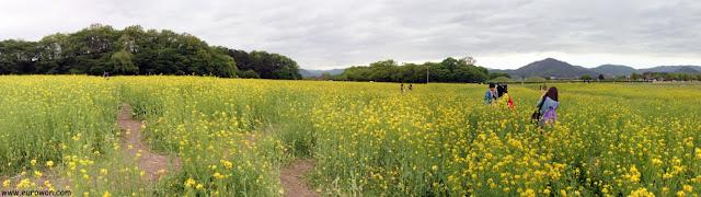 Flores amarillas de colza en Corea del Sur