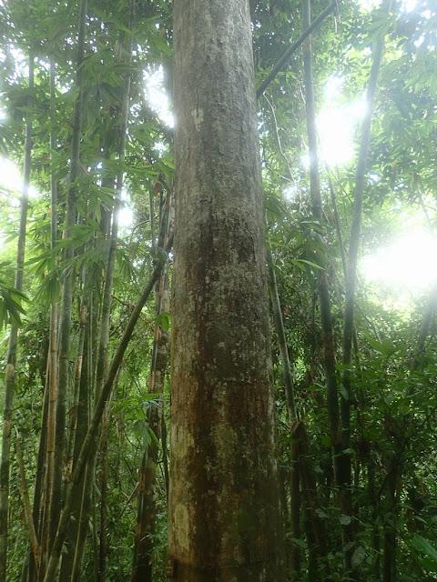 Dipterocarpus grandiflorus