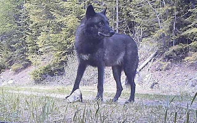 Wolf, Wildlife,