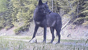 Washington wolf advocates ask court to expand injunction