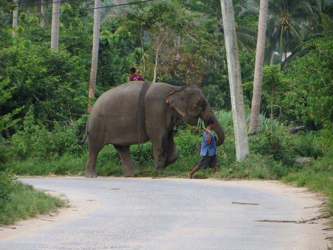Слон жует листья на ходу
