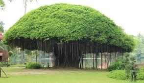 Banyan Tree 9 Information In Hindi  बरगद के पेड़ के बारे में महत्वपूर्ण जानकारी