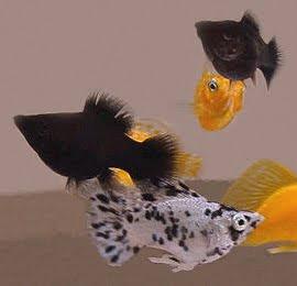 ikan hias tidak gampang mati ikan molly