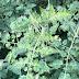 « Νέα νομοθεσία για τον ιό της καστανής ρυτίδωσης της τομάτας»