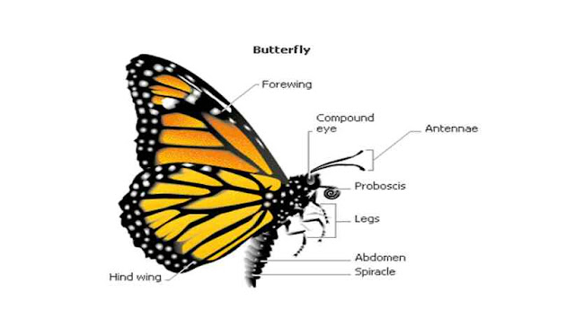 How many legs does a butterfly have?