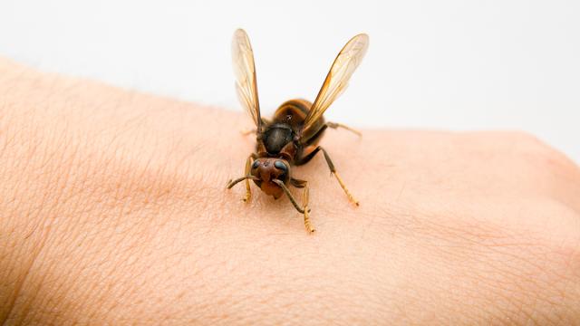 cara mengobati gigitan tawon