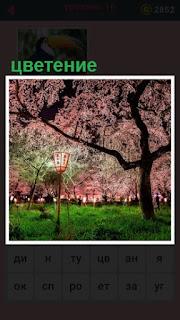 великолепное цветение деревьев в парке