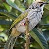 Download MP3 Suara Burung Cucak Rowo Gacor Dan Ropel