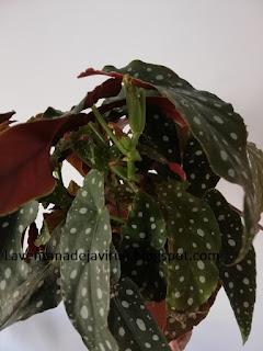 begonia-maculata-raddi