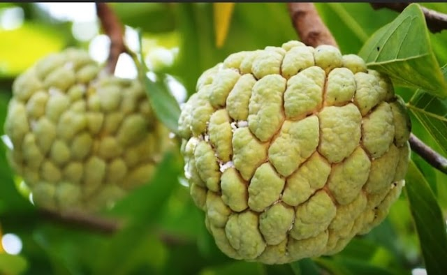 Eating custard apple benefits[Sugar apple]